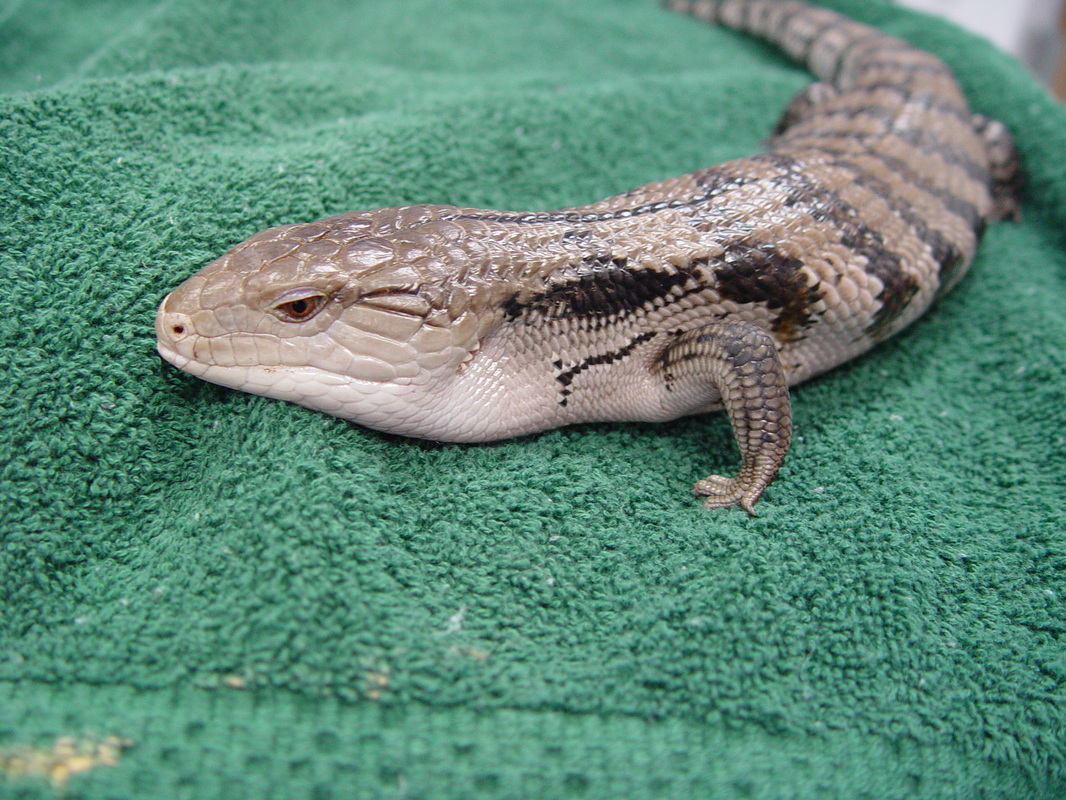 Blue Tongued Skink Care on heating pad