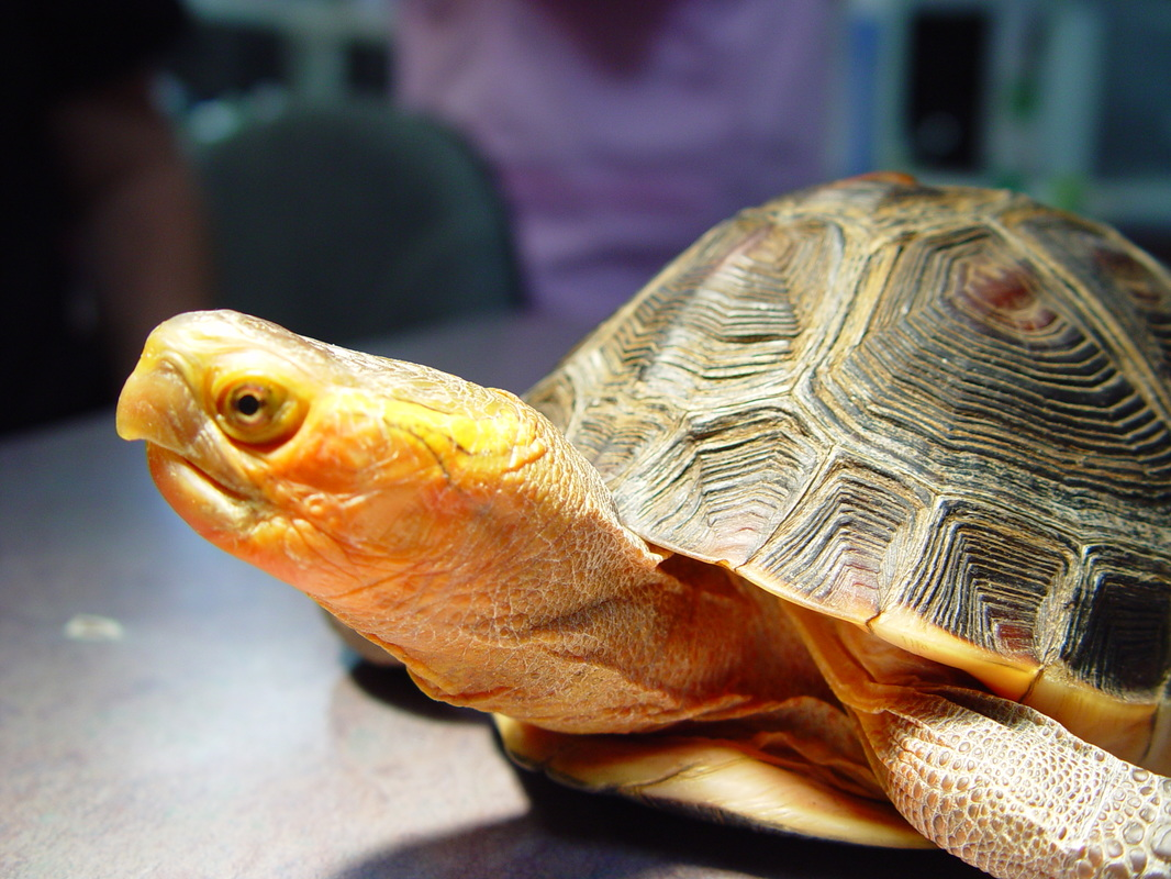 Chinese Box Turtle Care Chicago Exotics Animal Hospital