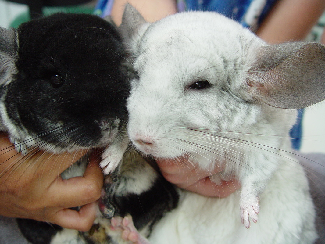 chinchilla care chicago exotics animal hospital