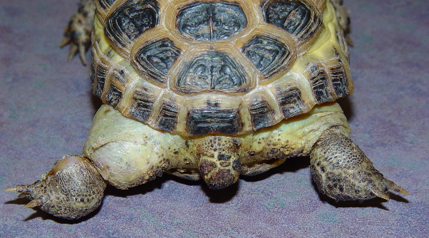 Russian Tortoise Care Chicago Exotics Animal Hospital